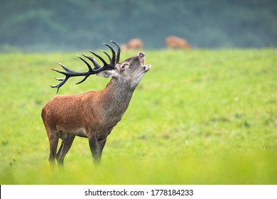 Majestic red deer, cervus elaphus, roaring on meadow in autumn nature. Magnificent stag with huge antlers standing on green grass. Wild animal bellowing in rutting season on pasture.