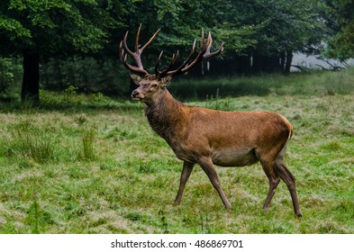 Majestic Red stag upclose