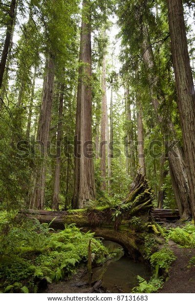 Majestic redwoods, one fallen across creek, California