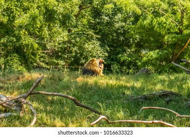 Majestic Roaring Lion in a field