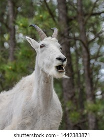 Majestic Rocky Mountain Goat opening its mouth at the Black Hills of South Dakota