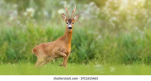 Majestic roe deer, capreolus capreolus, buck with large antlers approaching on green meadow in summer. Male mammal with orange fur walking through grass at sunrise with copy space. Animal wildlife.