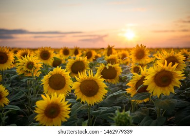 Majestic rural landscape of golden sunflowers blooming in the endless field just before sun touches horizon and disappear from view