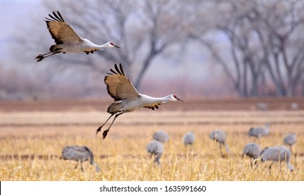 majestic sandhill Cranes in flight, coming in for a landing in a corn field in their winter habitat of bernardo state wildlife refuge near socorro, New Mexico