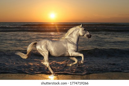 Majestic Silver Horse Galloping on the Sea Shore in the sunset