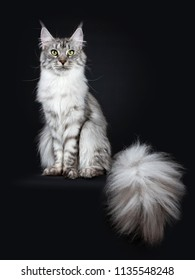 Majestic silver tabby young adult Maine Coon cat sitting facing front with enormous tail beside body hanging over edge, looking up isolated on black background