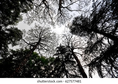 Majestic, skyscraper-like pine trees in the mountain resort town of Kasauli, India