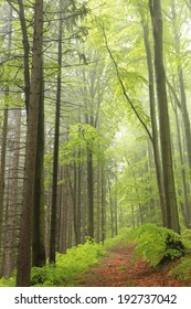 The majestic spring forest surrounded by fog.