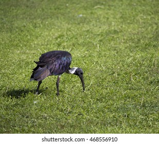 Majestic Straw-necked Ibis (Threskiornis spinicollis) feeding on the green grass in a park on a sunny summer afternoon are graceful water birds  inhabiting urban areas.