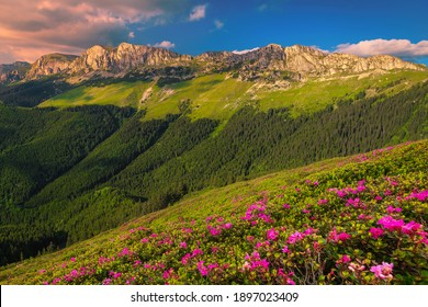 Majestic summer landscape, fresh colorful pink rhododendron mountain flowers on the slopes in Bucegi mountains at sunset, Carpathians, Transylvania, Romania, Europe