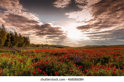 majestic sunset. Fantastic evening with flowering hills in the warm sunlight in the twilight. dramatic sky. beautiful morning scene. wonderful blooming field of poppies. soft selective focus