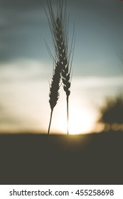 majestic sunset over a field of wheat. slender spikes influenced the blinding sun on a background of pale sky. concept rich harvest. silhouette on sky background. retro style. vintage creative effect