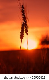 majestic sunset over a field of wheat. slender spikes influenced the blinding sun on a background of red sky. concept rich harvest. silhouette on sky background. retro style. vintage creative effect