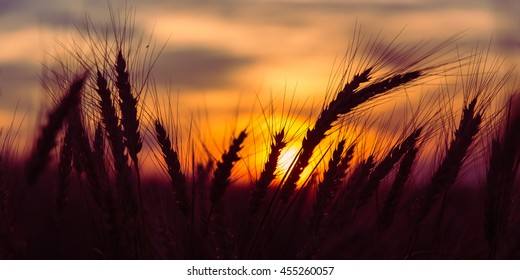 majestic sunset over a wheat field, wheat ears close up under sunshine at sunset.  dramatic picturesque summer scene. colorful sunrise with a overcast clouds. wonderful rural landscape. creative image