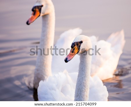 Majestic swans floating on the water surface