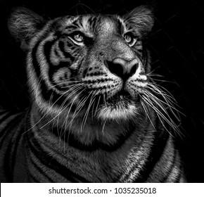 Majestic Tiger Portrait