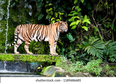 A majestic tiger standing by a watrhall