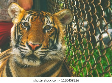 Majestic tigers in captivity in Thailand