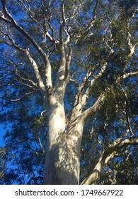 Majestic tree with strong finger like branches green foliage and striking blue background in forest along river.Huge strong old eucalyptus tree in Australia
