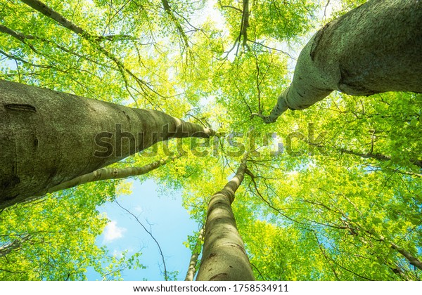 Majestic tree tops that soar into the sky