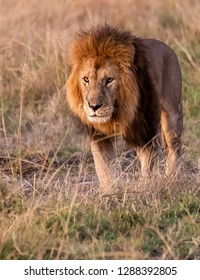 A Majestic walk of a male lion inside Masai Mara national reserve during a wildlife safari