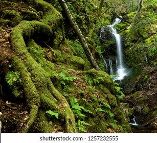 Majestic Waterfall and Massive Roots in Prehistoric Rain Forest, located in the lush woods of Uvas Canyon, near San Jose California