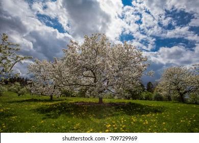 A majestic white crabapple tree spotlighted by sun in a very dramatic sky. Morton Arboretum, IL.