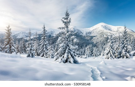 Majestic white spruces glowing by sunlight. Picturesque and gorgeous wintry scene. Location place Carpathian national park, Ukraine, Europe. Alps ski resort. Blue toning. Happy New Year! Beauty world.