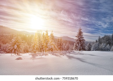 Majestic white spruces glowing by sunlight. Picturesque and gorgeous wintry scene.