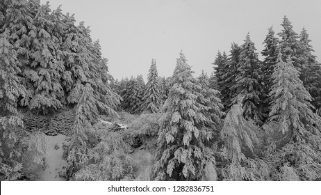 Majestic white spruces. Picturesque and gorgeous wintry scene. Location place Bansko national park, Bulgaria, Europe. Bansko ski resort. Happy New Year! Beauty world.