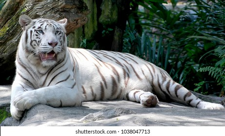 Majestic White Tiger lying on the rock in asian rainforest