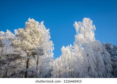 majestic white trees in winter hoarfrost