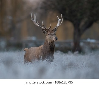 A Majestic wild beast Red Stag with antlers on a frosty golden hour morning