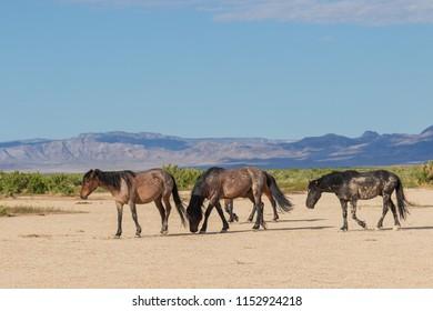 Majestic Wild Horses