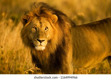 A majestic, wild lion stands in Africa during the golden hour