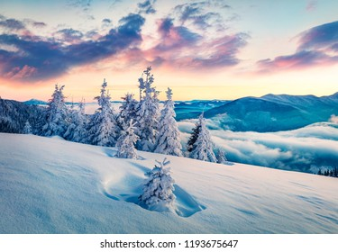 Majestic winter sunrise in Carpathian mountains with snow covered fir trees. Splendid morning scene of mountains hills covered by fog. Beauty of nature concept background.