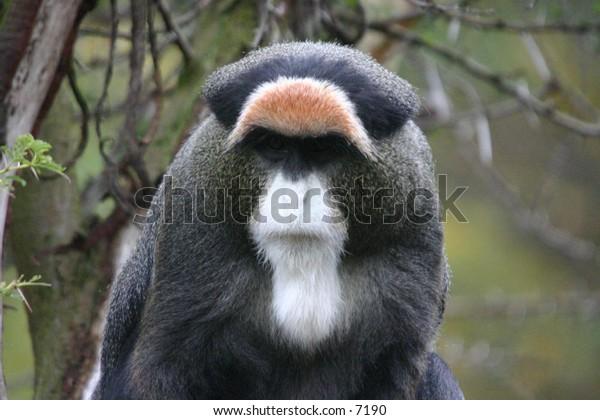 majestic-looking monkey