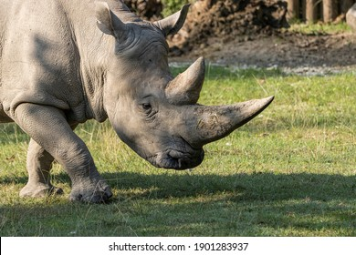 majesty of the horn of a rhino from the Natura Viva Park