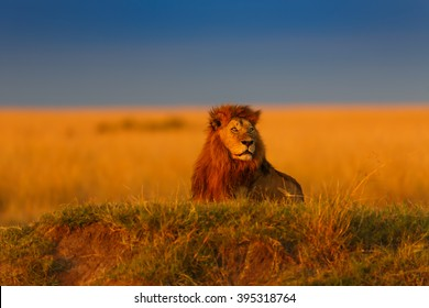 Maji Ya Fisi Lion enjoys the last sun rays on the banks of a river in Masai Mara, Kenya