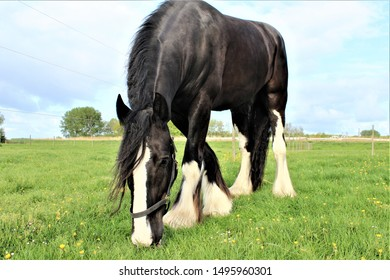 Major black Shire horse in the field grazing