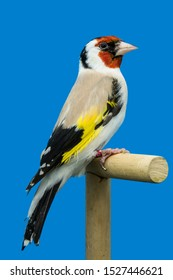 Major goldfinch mutation perched in softbox