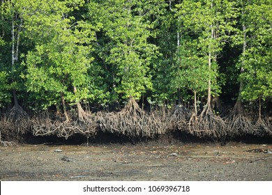 Major mangrove: Rhizophora mucronata is a perennial in the family. Rhizophoraceae The bark of the dark gray to black to the groove around the base of the tree to support the strong stem.
