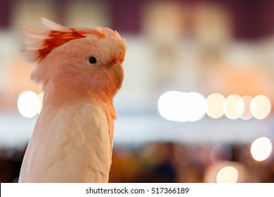 Major Mitchell Cockatoo or Pink Cockatoo