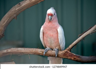 the Major Mitchell Cockatoo or pink cockatoo is perched on a branch