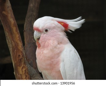 major mitchell or pick cockatoo