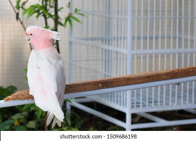 major mitchell or pink cockatoo close up photo