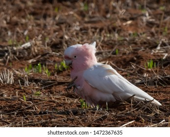 "Major Mitchell's Cockatoo (Cacatua leadbeateri) race ""leadbeateri"". Murray Sunset National Park, Victoria, Australia"