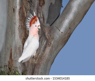 Major Mitchell's Cockatoo (Cacatua leadbeateri) perched in a tree