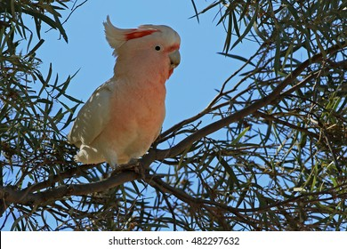 Major Mitchell's Cockatoo (Cacatua leadbeateri) AKA Pink Cockatoo