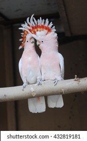 Major Mitchell's Cockatoo has beautiful colors and obvious intelligence. They need specialized care and environments that not all bird owners can accommodate.